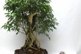 Tropical Bonsai